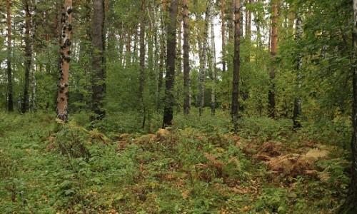 Чистый и безопасный лесопарк на базе Соснового бора создадут в Новосибирске