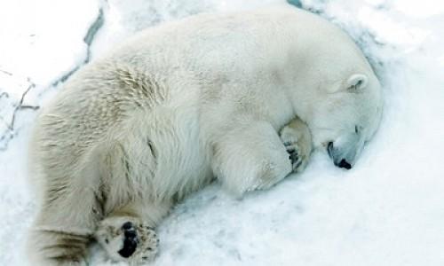 «Прости нас, Умка…». В зоопарке Екатеринбурга белый медведь съел резиновый мяч и умер