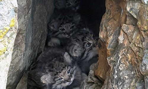 Редкое фото: дикие котята манула попали в кадр на Алтае
