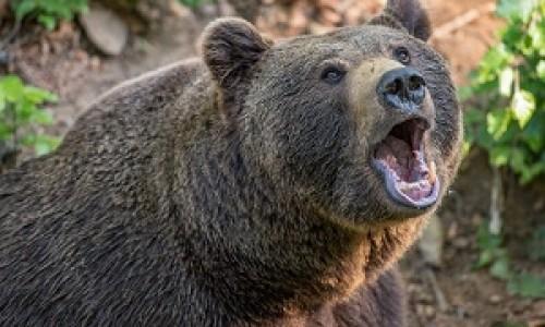 Цирковые медведи просят помощи у новосибирцев
